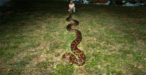 18-foot-python-captured-in-florida