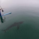 large sharks charleston